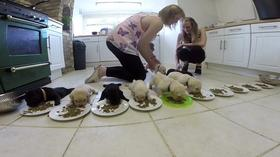 Labrador Puppies Eating For The First Time