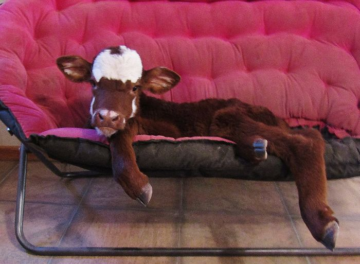 Mini-Cow Rescued From Auction Lives With 12 Dogs, And Now Thinks She's One Of Them